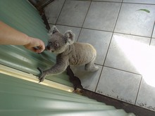 SYDNEY 19 Symbio koala.JPG